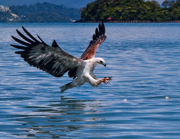 """Bên cạnh khung cảnh thiên nhiên, món quà độc đáo của Langkawi là loài đại bàng hoang dã. Không phải ngẫu nhiên khi Langkawi có nghĩa là """"hòn đảo của đại bàng"""". Bạn có thể bắt gặp loài chim này bay lượn ung dung tự tại ở bất cứ đâu trên hòn đảo. Ảnh: Ishafizan"""