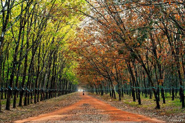 Một cánh rừng cao su ở Dầu Tiếng mùa thay lá - Ảnh: Cao Cát