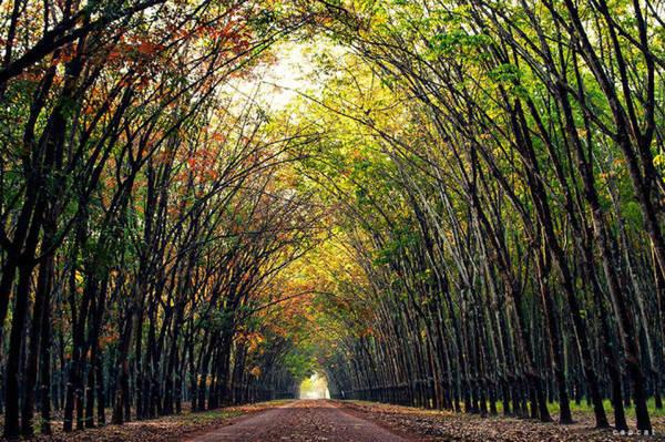 Một cánh rừng cao su ở Dầu Tiếng - Ảnh: Cao Cát