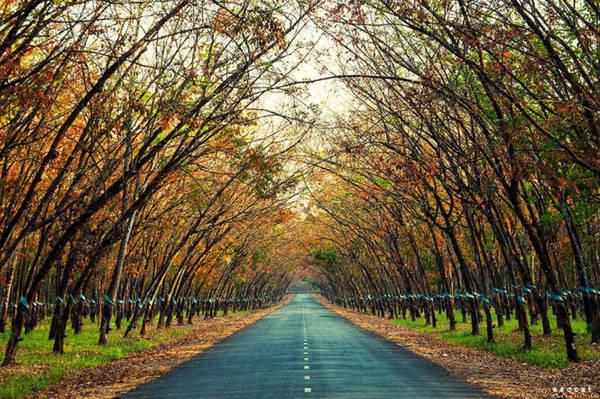 Một con đường tuyệt đẹp xuyên qua rừng cao su - Ảnh: Cao Cát