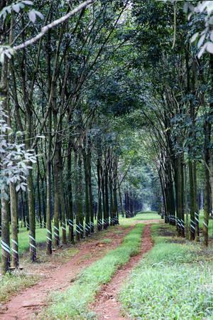 Một rừng cao su chưa kịp thay lá - Ảnh: Trân Duy