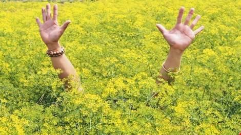 Hoa cải nở vàng như nhuốm cả một góc trời.