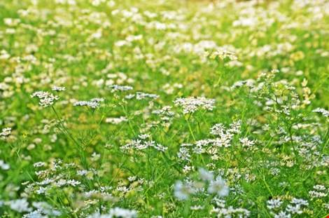 Hoa cải màu trắng như những bông hoa tuyết ve vãn mùa đông.