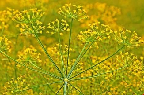 Hoa thì là xòe như những ngón tay ngoan dịu dàng.