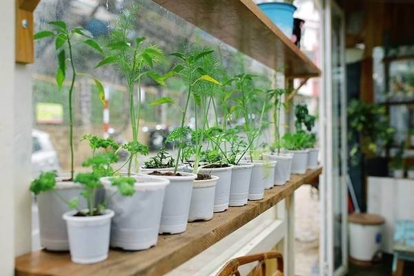 Từ khu vườn nhỏ bên ngoài cho đến chiếc bàn, kệ hay các lối đi bạn đều bắt gặp nhiều loại rau cải. Điều này đã làm nên sự đặc biệt thu hút thực khách tìm đến quán. Ảnh: Trung Võ