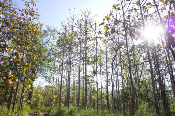 Những tán rừng thưa tạo không gian thoáng đãng, thuận lợi cho du khách di chuyển và ngắm cảnh