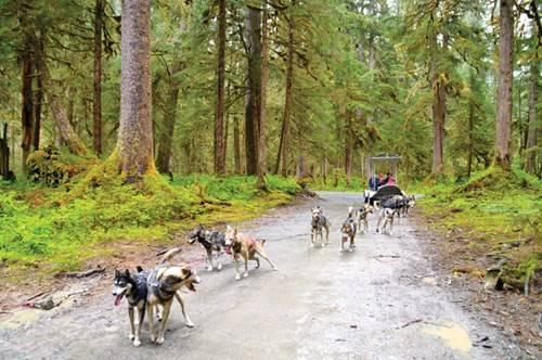 Đoàn chó kéo xe sled dog, phương tiện di chuyển thú vị của bộ tộc Tagish