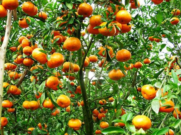 Vườn quýt sai quả ở Lai Vung. Ảnh: Thiện Nguyễn