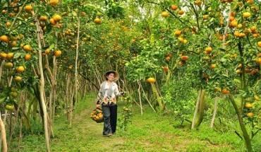 Cũng như hoa mai, quýt hồng Lai Vung cũng trổ trái rộ nhất vào những ngày giáp Tết. Ảnh: Saigontourist