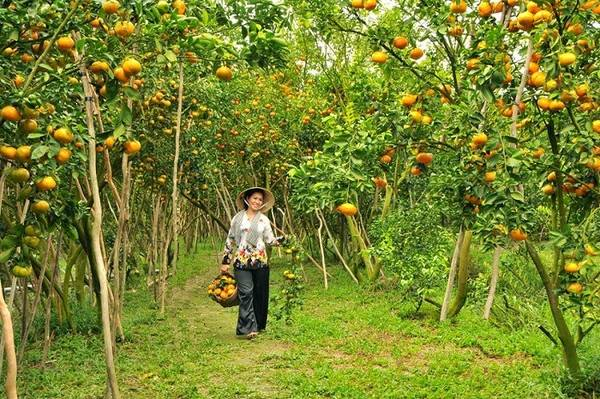 Cũng như hoa mai, quýt hồng Lai Vung cũng trổ trái rộ nhất vào những ngày giáp Tết.Ảnh: dailytravelvietnam.com