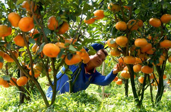 Nông dân Lai Vung đang chăm sóc vườn quýt. Ảnh: ST
