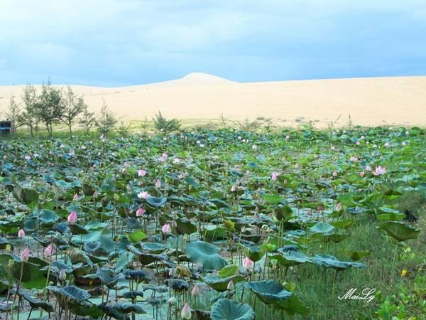 Một điều thú vị nữa, ngoài cái tên Bàu Trắng, nơi đây còn được biết đến với tên gọi Bàu Sen, vì hàng nghìn bông sen thơm ngát tỏa hương vào những tháng mưa về.