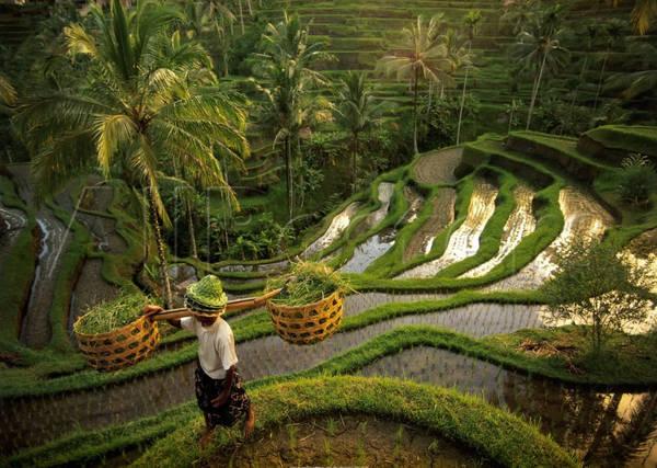 Một góc của khu ruộng bậc thang ở Tegallalang, Bali. Ảnh: kizie.com