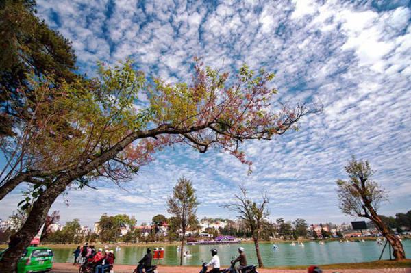 Hoa mai anh đào ven hồ Xuân Hương - Ảnh: Cao Cát