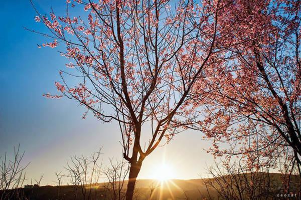 Mai anh đào trong nắng sớm Đà Lạt - Ảnh: Cao Cát