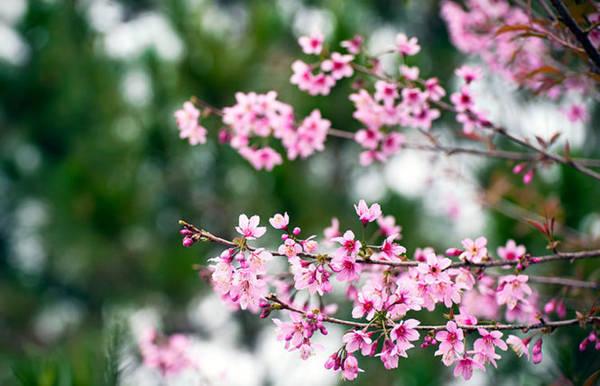 Màu hoa mai anh đào rực rỡ trên nền lá thông xanh - Ảnh: Cao Cát