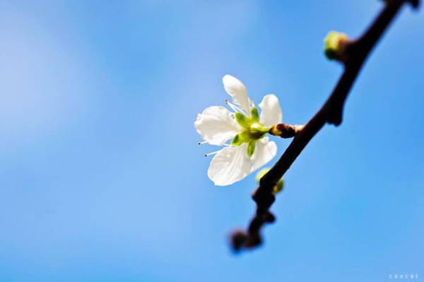 Một cánh hoa mai anh đào trắng hiếm hoi - Ảnh: Cao Cát