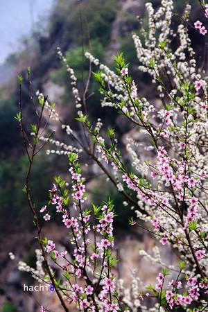 Xuân về trên cao nguyên đá đã mang tới những gam màu rực rỡ thật đẹp. Trải nghiệm một mùa hoa xuân trên miền đá quả thực là niềm hạnh phúc với bất cứ du khách nào.