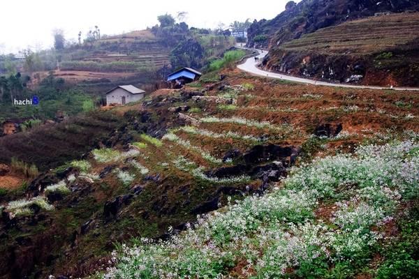 Cung đường phổ biến của dân du lịch là Hà Giang - Quản Bạ - Yên Minh - Đồng Văn trở nên thơ mộng hơn với những ruộng cải trắng phớt tím ướt đẫm sương mai.