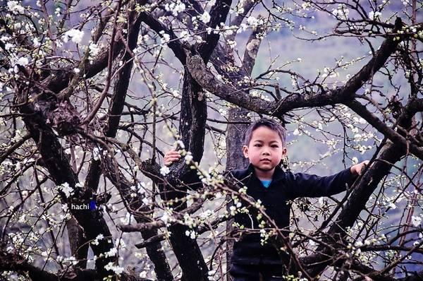 Cây mận già điểm hoa trắng khiến lũ trẻ thích thú leo trèo.
