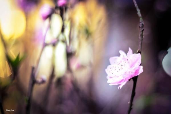 Hoa đào ngày Tết.