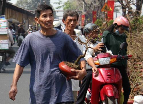 Những chậu mai chưa nở, hoặc nở ít được người Sài Gòn tìm mua chuẩn bị chưng ngày Tết. Ảnh: Duy Trần