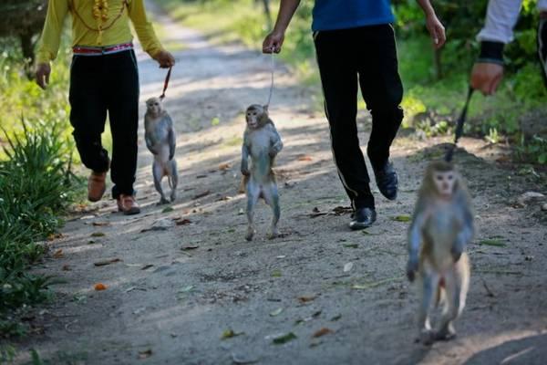 vuKết thúc nhKết thúc những suất biểu diễn xiếc một ngày, những chú khỉ được nhân viên dẫn về nơi chăm sóc sức khỏe - Ảnh: Tiến Thành khỉ được nhân viên dẫn về nơi chăm sóc sức khỏe - Ảnh: Tiến Thành
