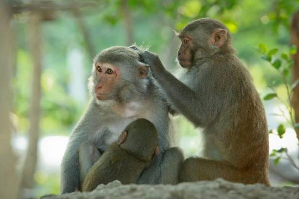 Hòn đảo là nơi sinh sống tự nhiên của hơn 1.200 chú khỉ. Trong ảnh: một gia đình khỉ chăm sóc nhau trên đảo - Ảnh: Tiến Thành