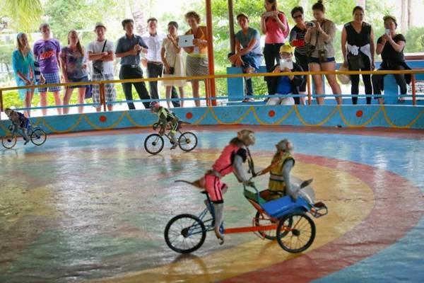 Những chú khỉ đạp xe, đi xích lô trước sự thích thú của du khách. Theo anh Đặng Xuân Thanh, người huấn luyện xiếc khỉ trên đảo, màn biểu diễn xe đạp và xích lô là khó nhất và thời gian huấn luyện cũng lâu nhất, trung bình từ 1-3 tháng - Ảnh: Tiến Thành
