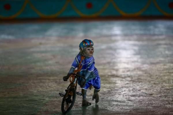 Một chú khỉ dắt bộ xe đạp trên sân khấu xiếc - Ảnh: Tiến Thành