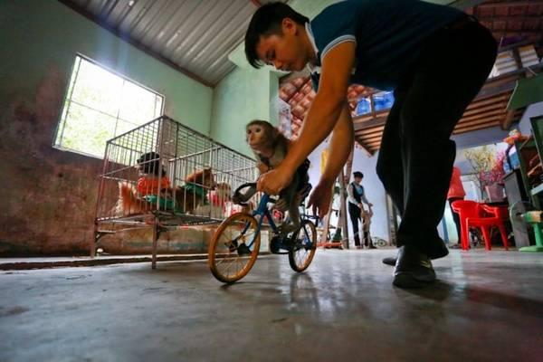Từ hậu trường biểu diễn xiếc, những nhân viên huấn luyện khỉ vừa chăm sóc, vừa hỗ trợ những chú khỉ tạo đà trên những chiếc xe đạp - Ảnh: Tiến Thành