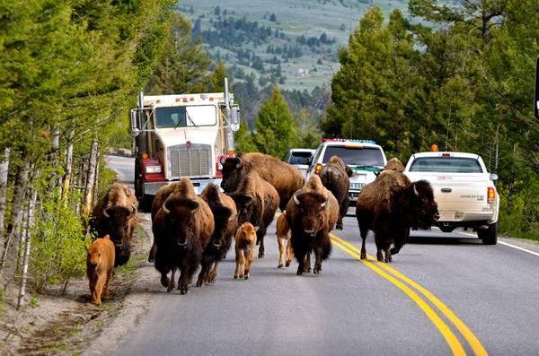 Xe cộ phải chia sẻ đường đi với động vật: Ngoài mạch nước, Yellowstone còn nổi tiếng với bò rừng bison. Đây là nơi duy nhất trên đất Mỹ mà loài bò này tồn tại được từ thời tiền sử cho đến nay. Khái niệm giờ cao điểm ở đây cũng khác thường với nguyên nhân là những chú bò này - phương tiện cơ giới phải chờ cho chúng băng qua đường mới tiếp tục được di chuyển.