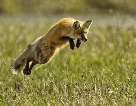Yellowstone là quê hương của rất nhiều loài động vật: Hệ động vật tại Yellowstone vô cùng phong phú, đa dạng với gần 300 loài chim, 16 loài cá, 67 thú có vú - số lượng lớn nhất tại Mỹ. Danh sách các loài thú gồm có gấu xám Bắc Mỹ, sói, cáo, linh miêu, nai sừng tấm. Dù chúng đáng yêu ra sao, bạn cũng không nên lại gần. Công viên quy định bạn phải đứng cách gấu và sói ít nhất 90 m, cách các loài động vật lớn 22 m.