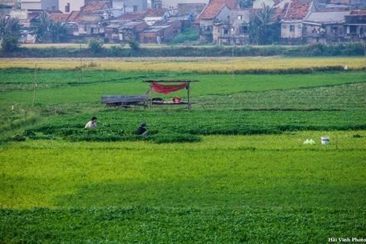Người nông dân dậy từ sớm để ra đồng hái rau, làm cỏ.