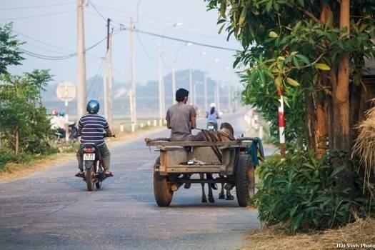 Xe bò kéo là phương tiện vận chuyển chính, nhất là thời điểm thu hoạch lúa.