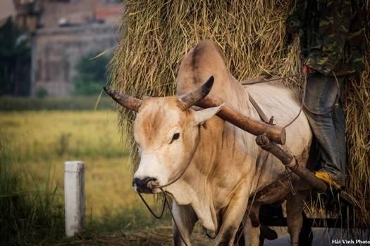 Xe bò kéo lúa.