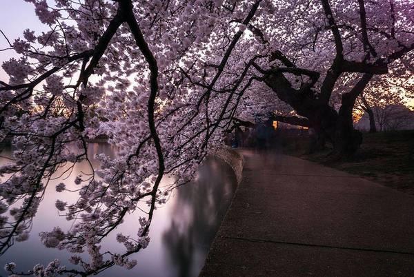 """""""Đường hầm"""" hoa đào."""