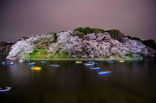 Khung cảnh đẹp như tranh ở Chidorigafuchi mùa hoa.