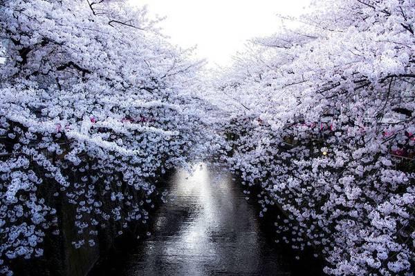 Người Nhật rất coi trọng hoa anh đào. Họ thưởng thức hoa một cách trân trọng, nghiêm túc. Cơ quan khí tượng Nhật Bản thậm chí có bản tin dự báo riêng cho mùa hoa anh đào.