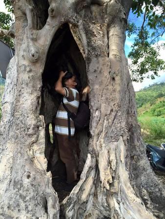 Description: Cây cổ thụ hàng trăm năm bị sâu đục mà gốc có thể chứa người ở bên trong.
