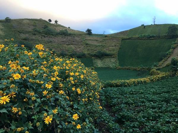 Description: Cây trồng ở đây xanh tốt bốn mùa. Chư Đăng Ya mang vẻ đẹp của những vạt ngô, luống khoai hay từng đám dong riềng. Điểm nhấn cho ngọn núi là sự hòa quyện của những loài hoa, cỏ dại.