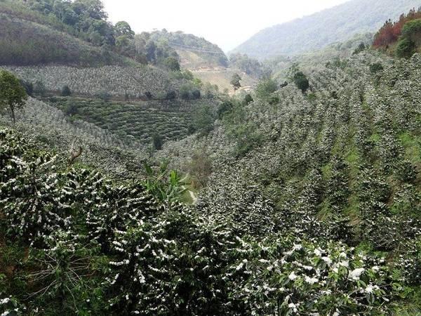 Pleiku và Buôn Ma Thuột là 2 thành phố có những rừng hoa cà phê lớn nhất.