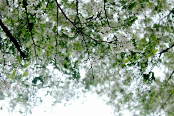 Hoa sưa trắng tinh, trắng đến nhuộm cả một khoảng trời - Ảnh: Nguyễn Phương Huệ