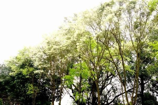 Hoa sưa trắng một góc trời công viên Lênin - Ảnh: Nguyễn Phương Huệ