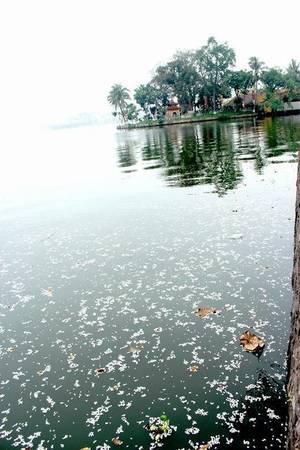 Những cánh hoa sưa trắng muốt phủ kín cả mặt hồ Tây - Ảnh: Nguyễn Phương Huệ