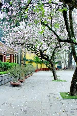 Lãng mạn con đường hoa ban Bắc Sơn - Ảnh: Nguyễn Phương Huệ