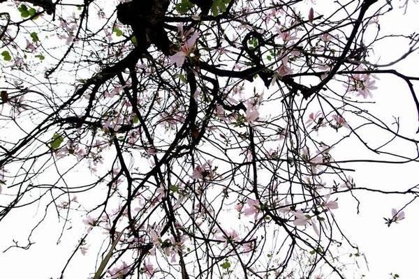 Một trời hoa ban - Ảnh: Nguyễn Phương Huệ