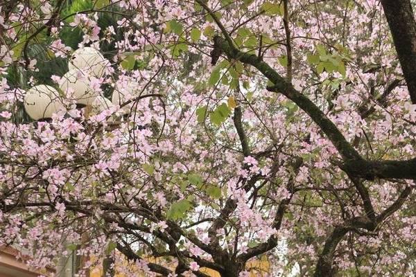 Hoa ban với màu hồng trắng lãng mạn - Ảnh: Nguyễn Phương Huệ