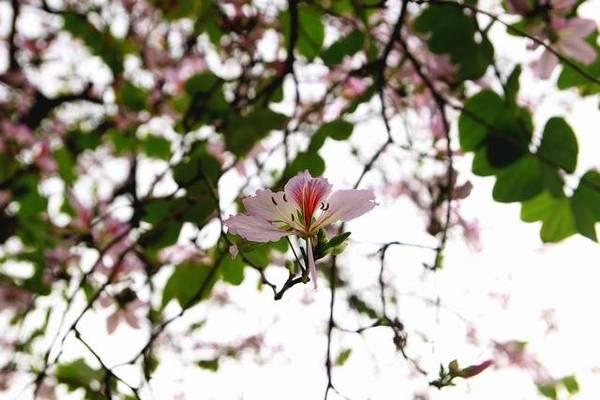 Ở một tầm cao hoa ban vẫn có sức hút của riêng mình - Ảnh: Nguyễn Phương Huệ