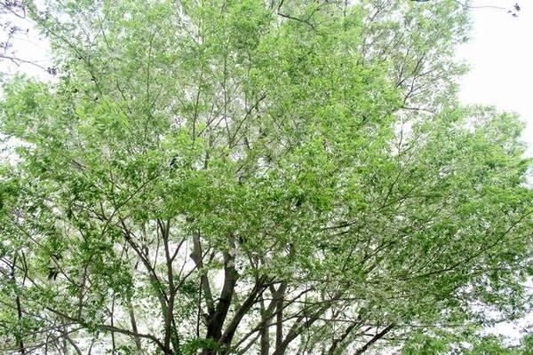 Lá xanh trên nền trắng tinh khôi của hoa, của mây trời - Ảnh: Nguyễn Phương Huệ